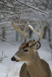 Buck in snow 2. Side view of a buck in falling snow Royalty Free Stock Images