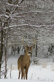 Buck in snow. Buck standing under snowy branches Royalty Free Stock Images