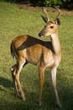 Buck standing is grassy field Stock Photos