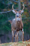 Buck standing Stock Image