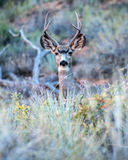 Buck stare Royalty Free Stock Photography