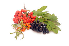 Buck thorn, ashberry and chokeberry Royalty Free Stock Photos