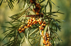 Buck thorn berries on the tree Royalty Free Stock Image