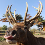 Buck with tongue royalty free stock images