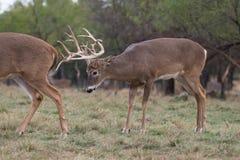 Buck trailing a doe Stock Photo