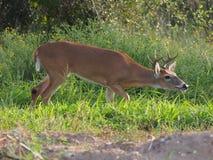 Buck Trailing Female Scent novo imagens de stock