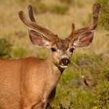 Buck With Uneven Antlers Stock Photography
