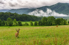 Buck in velvet, Cades Cove, Great Smoky Mountains. Summer bucks with velvet on their antlers in Cades Cove of the Great Smoky Mountains in Tennessee Stock Photo
