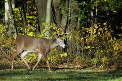Buck Walking royalty free stock photography