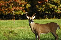 Buck Watching Royalty Free Stock Photo