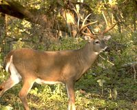 buck whitetail Obrazy Stock