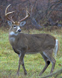 buck whitetail Fotografia Stock