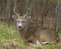 buck whitetail Obraz Royalty Free