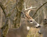 buck whitetail Zdjęcia Stock