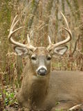 buck whitetail Fotografia Royalty Free