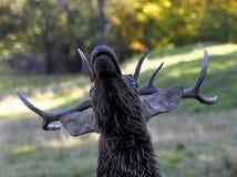 Buck Whitetail Deer. Whitetail deer buck close-up head shot Stock Photography