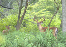 Buck Whitetail Deer Royalty Free Stock Photos