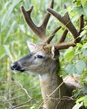 Buck Whitetail Deer Royalty Free Stock Photo