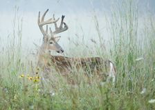 Buck Whitetail Deer. Whitetail deer buck in early morning mist Stock Photos