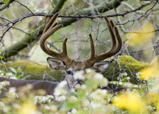 Buck Whitetail Deer. Whitetail deer buck hiding in flowers Stock Photography