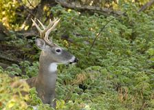 Buck Whitetail Deer. Whitetail deer buck close-up head shot Stock Images