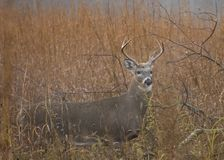 Buck Whitetail Deer Royalty Free Stock Images