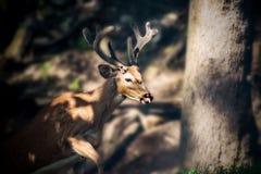 Buck Whitetail Deer Dark royalty-vrije stock foto