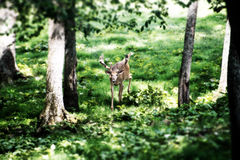 Buck Whitetail Deer looking uphill. Buck Whitetail Deer in the forest looking uphill Stock Photo