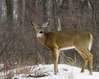 Buck Whitetail Deer (Odocoileus virginianus). A whitetail deer buck standing at the woods edge in late winter without antlers Stock Photo