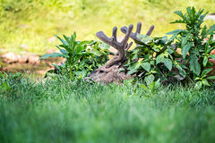 Buck Whitetail Deer Resting. In a field royalty free stock images