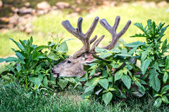 Buck Whitetail Deer Resting. In field stock photography