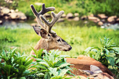 Buck Whitetail Deer Resting. Looking to the right stock photo