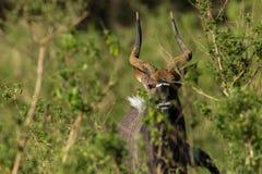Buck Wildlife Imagen de archivo libre de regalías