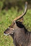 Buck Wildlife Fotografía de archivo libre de regalías