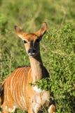 Buck Wildlife Fotos de archivo libres de regalías
