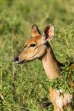 Buck Wildlife Imágenes de archivo libres de regalías