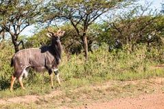 Buck Wildlife Fotografía de archivo
