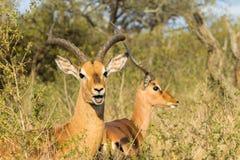 Buck Wildlife Animal Closeup Arkivbilder