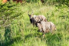Buck Wildlife Animals Imagenes de archivo