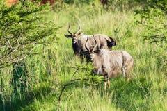 Buck Wildlife Animals Imágenes de archivo libres de regalías