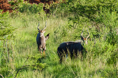 Buck Wildlife Animals Royalty Free Stock Photos