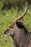 Buck Wildlife Royalty Free Stock Photography