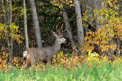 Buck at woods edge. A young buck standing at the edge of the forest looking back Royalty Free Stock Photography
