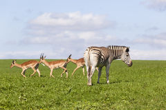 Buck Zebra Wildlife Summer Royaltyfria Foton
