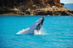 Buckel-Wal, der aus dem Wasser heraus durchbricht Lizenzfreie Stockbilder