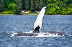 Buckel-Wal, der Brustflosse wellenartig bewegt stockfotografie