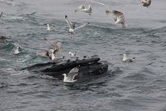 Buckel-Wal, der an der Oberfläche von Ozean umgeben durch Seemöwen einzieht Stockfotografie
