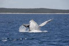 Buckel-Wal-Durchbrechen Stockbilder