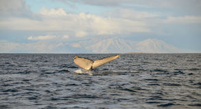 Buckel-Wal, falsche Bucht, Südafrika stockfotografie