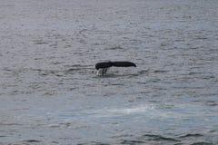 Buckel-Wal in Island Stockbild